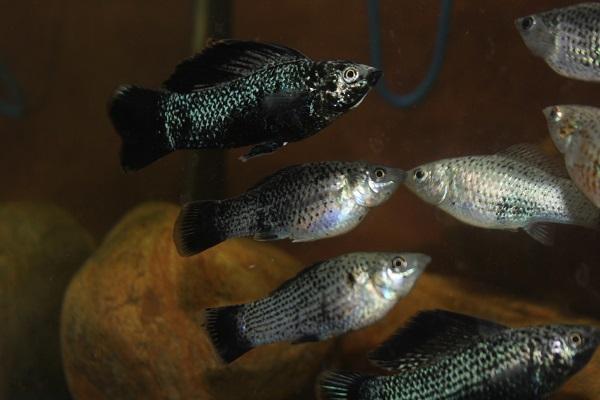 midnight blue sailfin mollies